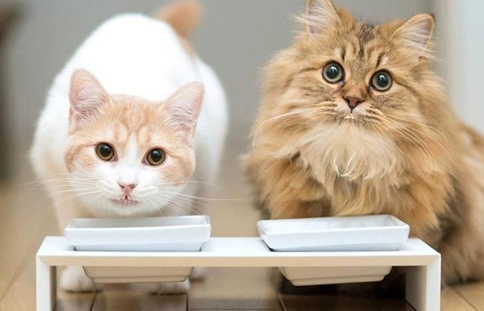 DHA猫粮帮助幼猫智力发育,视力清晰