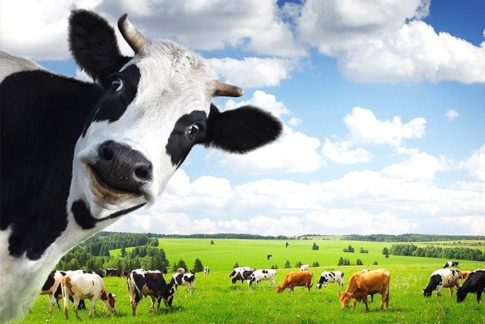 裂壶藻粉助力牛奶让DHA牛奶更健康